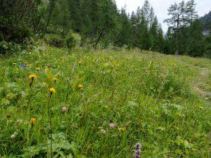 Bergwiese im Alperschontal